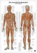Anatomie-Lerntafel - Die menschliche Muskulatur