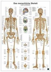 Anatomie-Lerntafel - Das menschliche Skelett