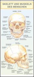 Leporello: Skelett und Muskeln des Menschen -  Alle Begriffe im Überblick
